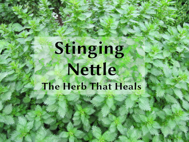 stinging nettle the herb that heals